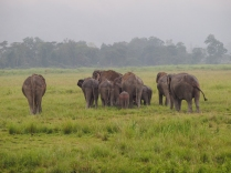Elaphants of Kaziranga National Park