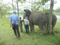 Treating camp elephants at Laokhowa