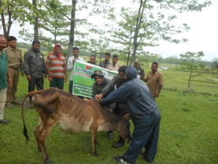 Vaccination of cows on a rainy day at Laokhowa